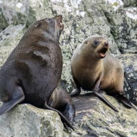 5. FDL Area Milford Sound Seals on seal rock